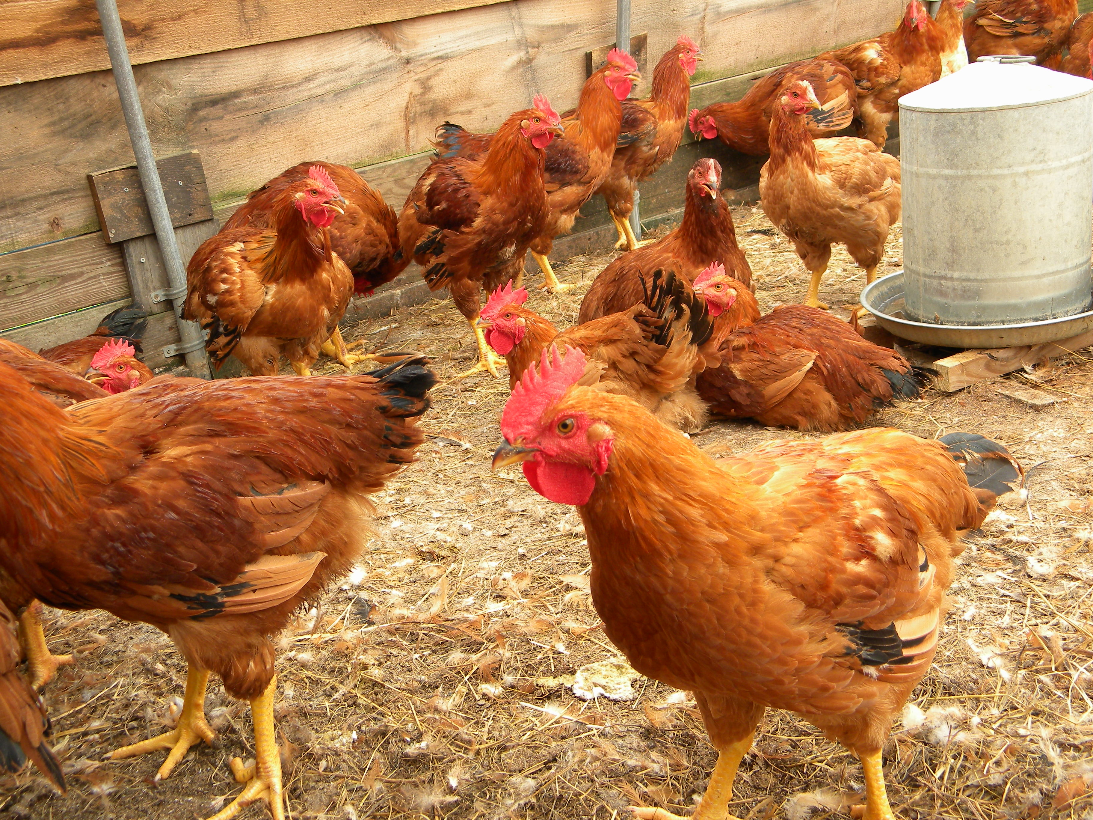 Rhode Island Red Chickens For Sale In Maine